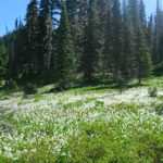 Wildflowers in bloom!  Despite being July, there was still snow on the ground in places so these are the early bloomers.