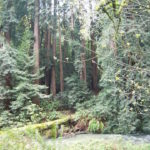 Muir Woods along the primary, easy trail.  Redwood Creek runs through the park.
